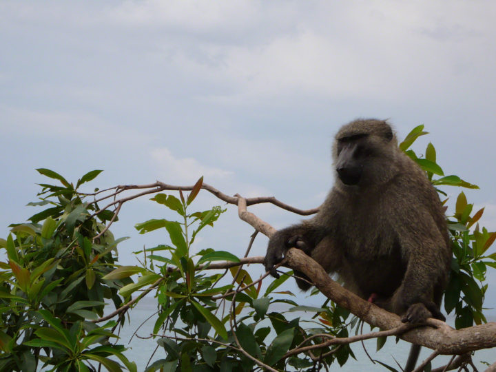 Baboon Research